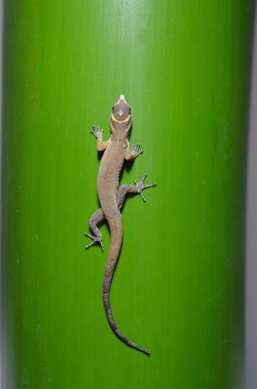 gecko_sticky_green