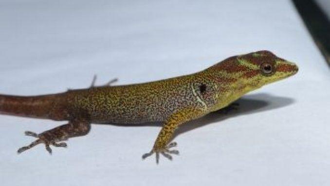 G. humeralis in French Guiana.Photo credit: Timothy Higham, UC Riverside.