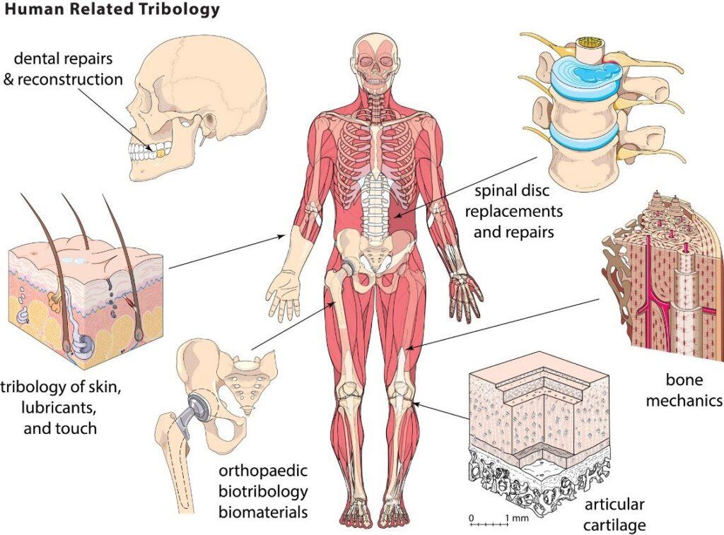 Image result for Biotribology